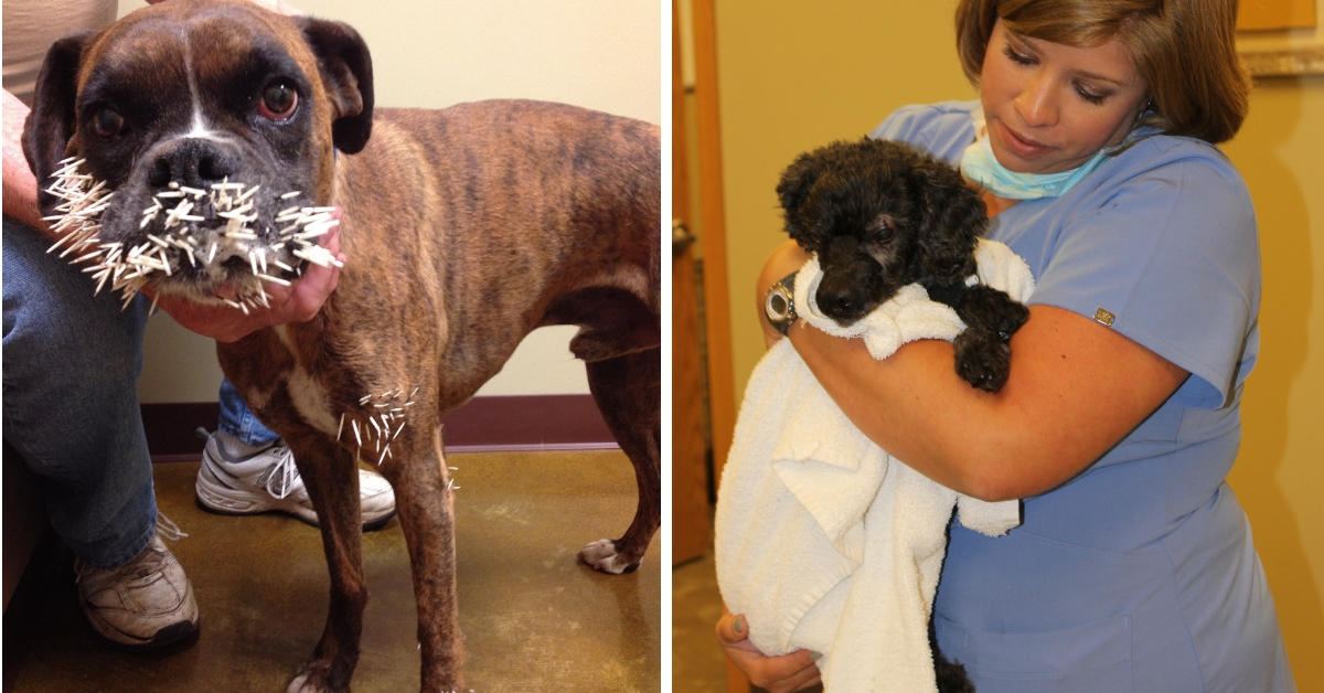 Goddard (Kan.) Boxer, Tatum, was an emergency patient at Animal Hospital at Auburn Hills in Wichita, KS